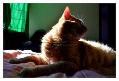 Lucas (@amarulero) Tags: pet sun luz sol animal backlight cat contraluz dailypic lucas gato linares felino raul mascota domestico gatinho amaru estimacao dsc3700 amarulero raulinares