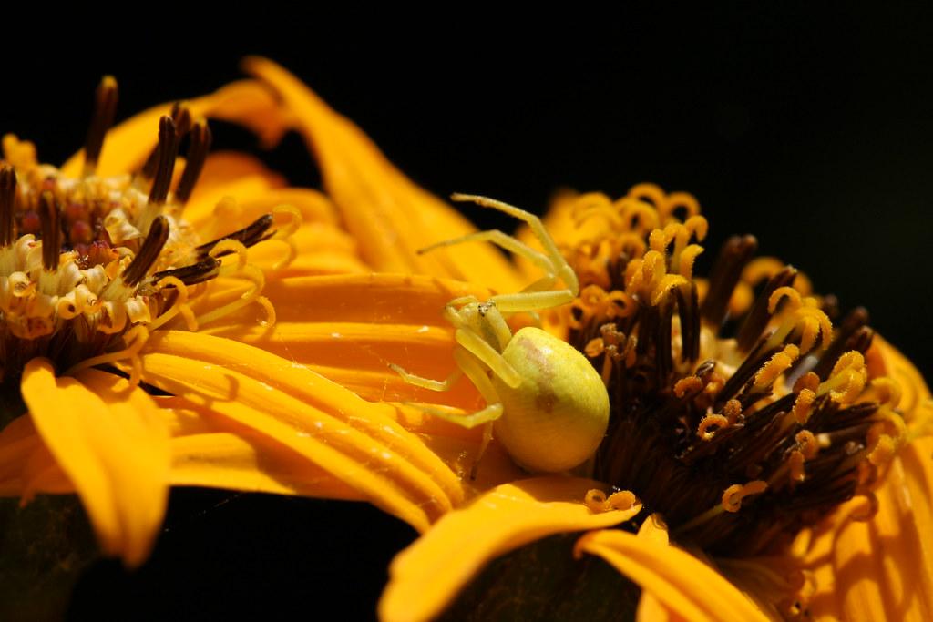 Crab spider flower theatre