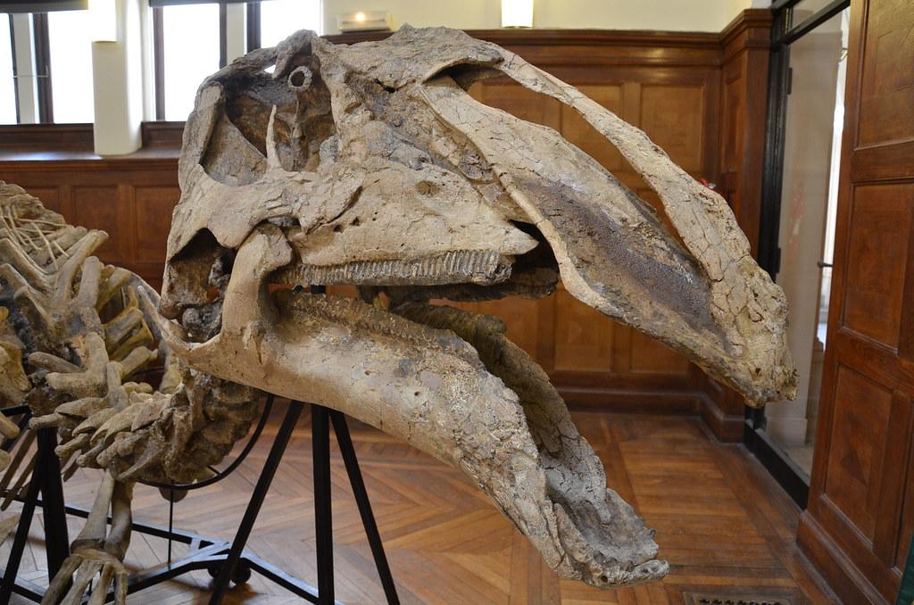 Prosaurolophus maximus - Tête