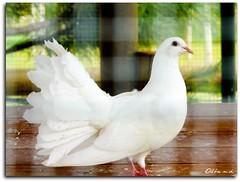 Paz (AlbaMD Photography) Tags: madrid parque animal paloma ave pico patas alas plumas torrejndeardoz parqueeuropa