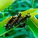 Tussock Moth Caterpillar Party