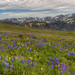 Spring Wildflowers on the Beartooth Highway