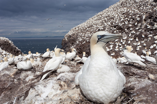 Gannet on nest, Bass Rock by tomgardner