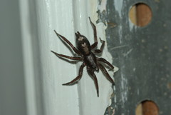 Fast Parson's spider I found in my house (linuxtuxguy) Tags: spider arachnid parsons parson arachnidae ecclesiasticus parsonspider herpyllusecclesiasticus parsonsspider herpyllus easternparsonspider
