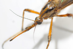 Gallinipper Mosquito Bite Dsc 1874e Benseese Tags Macro Michigan Mosquito Whitmorelake Gallinipper