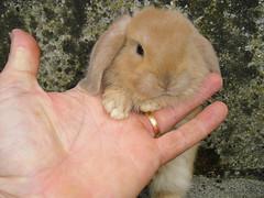 Baby bun (r2-detoo) Tags: holland cute rabbit bunny bunnies love smile little sweet conejo adorable mini lopear bun lapin nugget mignon lop nain bélier conajo coneja