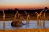 _UEV7897 (Fernando Quevedo (SERENGETIMAN)) Tags: africa park animal namibia etosha