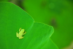 Piece of Green (*Sakura*) Tags: summer green nature japan  sakura  treefrog notmacro rainfrog