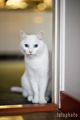 (lulu.photo) Tags: cat nikon f14 whitecat luluphoto d700 misterpeaches sigma85mm lauralayeraphotography