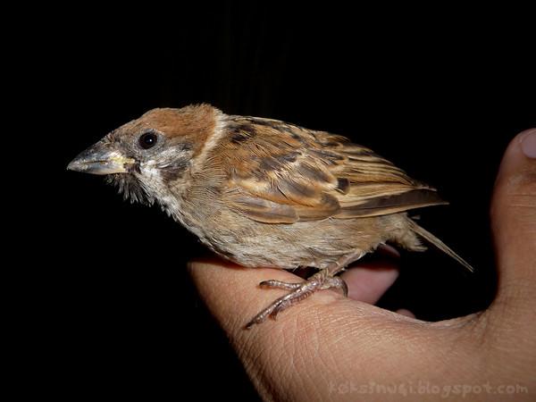 Sparrow Rescue 5
