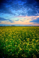 Field of Rapeseed in Bloom (Philip Mcleer) Tags: flower yellow strand canola rapeseed clogherhead