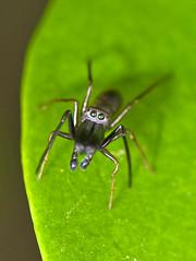 Myrmarachne japonica's Eyes (aeschylus18917) Tags: park macro nature japan tokyo spider nikon g arachnid ant micro   nikkor  f28 mimicry nerima vr jumpingspider arachnida araneae 105mm nerimaku hikarigaoka 105mmf28 salticidae  antmimic  araneomorphae hikarigaokapark spoder  105mmf28gvrmicro  myrmarachnejaponica antmimicspider d700 myrmarachne nikkor105mmf28gvrmicro   antmimickingjumpingspider arigumo danielruyle myrmarachnid aeschylus18917 danruyle druyle