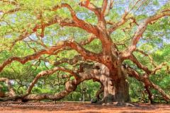 Angel Oak.jpg (DCastelhano) Tags: life old tree nature angel landscape island moss oak ancient natural live branches south low wide large historic carolina huge majestic limb