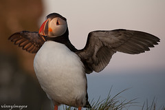 Covering Space (Vinnyimages) Tags: sunset cute iceland puffin snaefellsnes westiceland londrangar vinnyimages wwwvinnyimagescom londrangarpuffinssunset icelandtravels