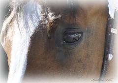 Obstacles are like wild animals. (Explored) (misst.shs) Tags: horse macro eye animal closeup nikon horseshow obstacles d90 monroewa macromondays colburnid