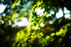 Shining Green (moaan) Tags: life leica sunshine digital stars 50mm dof shine wind bokeh f10 momiji japanesemaple utata noctilux breeze  m9 2011  rustling inlife greenstars leicanoctilux50mmf10 leicam9  gettyimagesjapanq3