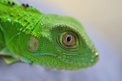 Close-Up (Pablo Buitrago ngel) Tags: macro verde green eye nature animal closeup fauna ojo details iguana detalles reptil acercamiento ltytrx5 15challengeswinner