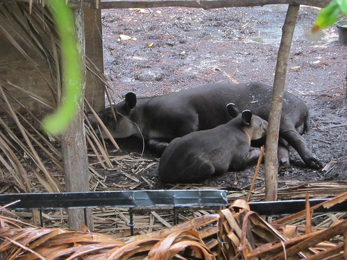 Central American Tapir -- Momma and Baby