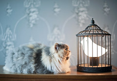 I can haz light food? (Kelly West Mars) Tags: blue light portrait pet cute bird lamp animal cat fun 50mm persian furry funny f14 fluffy naturallight cage meow hungry curious playful whimsical nikond700
