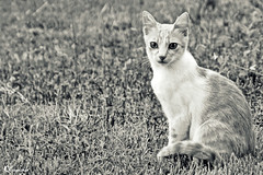 Figaro is a teenager now (dClaudio [homofugit]) Tags: cat garden nikon kitten pussy 70300mm figaro d90 mygearandme