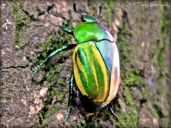 Brazilian beetle (Tony Borrach) Tags: brazil blur macro verde green nature rio yellow closeup brasil riodejaneiro