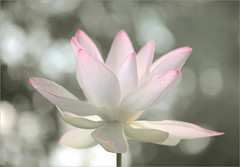 Lotus Flower and the early morning sun - IMG_9737 (Bahman Farzad) Tags: morning sun flower macro yoga early peace lotus relaxing peaceful meditation therapy lotusflower lotuspetal lotuspetals lotusflowerpetals lotusflowerpetal