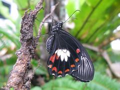 Papilio ambrax (Lepsibu) Tags: australia lepidoptera papilionidae papilioninae papilioambrax