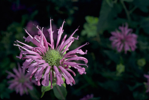Photo - Bee Balm