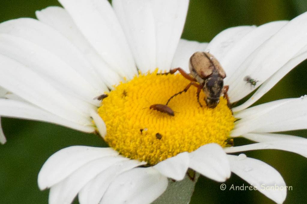 Ox-eye Daisy (Leucanthemum vulgare)-3.jpg