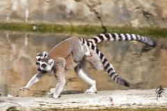 Hitchin' a ride (jcdriftwood) Tags: ride run lemur madagascar piggyback carry ringtailedlemur indianapoliszoo