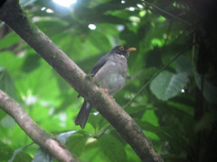 Clay Colored Thrush (Brian Sloane) Tags: bird rainforest costarica monteverde cloudforest monteverdecloudforest