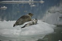 Ice Float (opster673) Tags: ice glacier harborseals babyseal motherseal