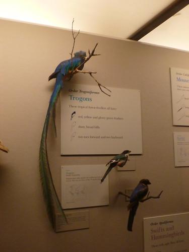 Respendent Quetzal