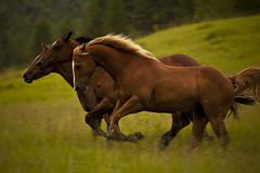 Horses (Pete Severens) Tags: horses thebestofday gnneniyisi peregrino27life