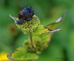 Penthouse (Greet N.) Tags: garden snail juli tuin slak phlomis anawesomeshot