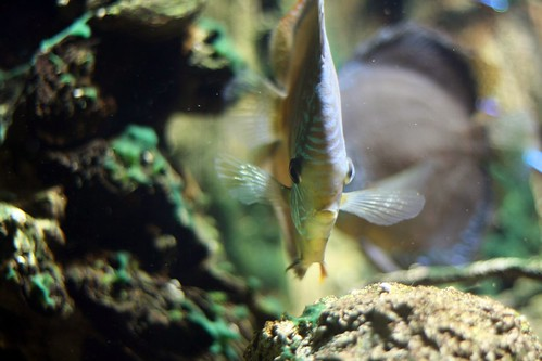 Flat fisk