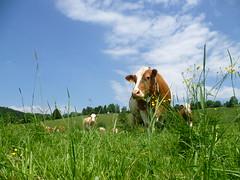 Almkühe beim Grasen (Naturpark Almenland) Tags: im wandern naturpark almenland wwwalmenlandat