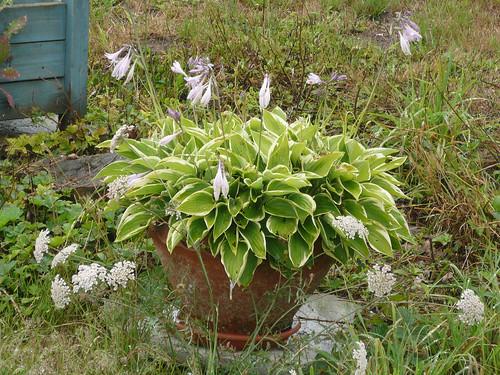 Hosta in flower