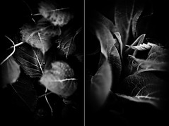 garden (Adam Hirons) Tags: plants white abstract black adam leaves canon garden mono f2 135mm hirons