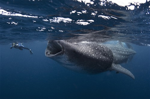 AT-110721-giant-whaleshark-whalen_photoblog600