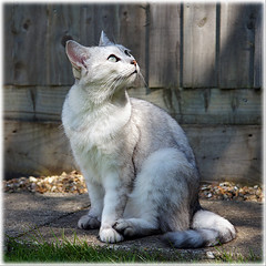 Wonderment (hehaden) Tags: animal cat silver garden square sitting path kitty shorthaired