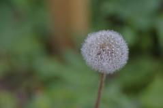_IGP4931 (ivan le fou) Tags: toronto flower macro garden pentax bbq kr 100mm28macro summer2011