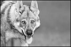 Mon chiot 4 mois et demi (bbcyn) Tags: wild blackandwhite dog chien male animal puppy eyes nikon wolf noiretblanc yeux breed nikkor hybrid chiot regard sauvage wolfdog canin canid d300s mygearandme mygearandmepremium blinkagain bestofblinkwinners blinksuperstars