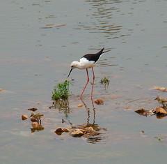 The other visitor of Puskar (asis k. chatt) Tags: india bird rajasthan birdwatcher puskar blackwingedstilt firsttheearth thewonderfulworldofbirds
