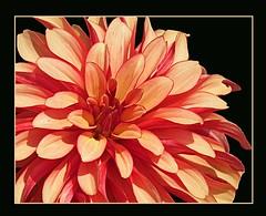 Orange Dahlia Eden (Cornishcarolin. Stupid busy!! xx) Tags: flowers edenproject finegold floralfantasy perfectpetals flickraward worldofflowers ohnonotanotherflower unforgettableflowers mamasbloomers weallloveflowers level1photographyforrecreation