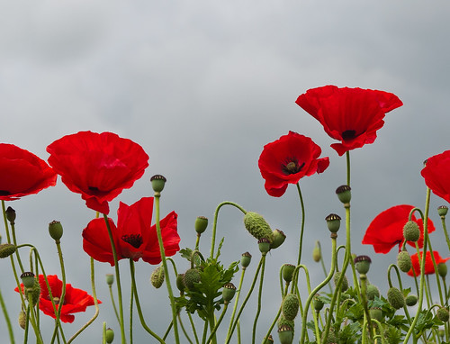 Klaprozen en donkere wolken - Poppies en dark clouds - Papaver by RuudMorijn