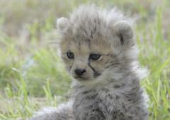 Cheetah cub getting sleepy (gentle lemur) Tags: cub cheetah chesterzoo acinonyxjubatussoemmeringii