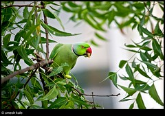 Tea time visitor... (ucogency) Tags: red india tree green bird leaves canon balcony parrot eat maharashtra pune parakit 400d rebelxti canonrebelxti umeshkale ucogency uniqpixel