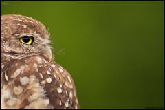 Burrowing Owl (www.matthansenphotography.com) Tags: portrait tree cute green bird eye nature animal little wildlife small profile negativespace avian birdofprey athenecunicularia burrowingowl plumage capecoral catchlight matthansen