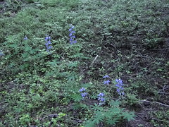 Lupine on lower Crystal Lakes trail.